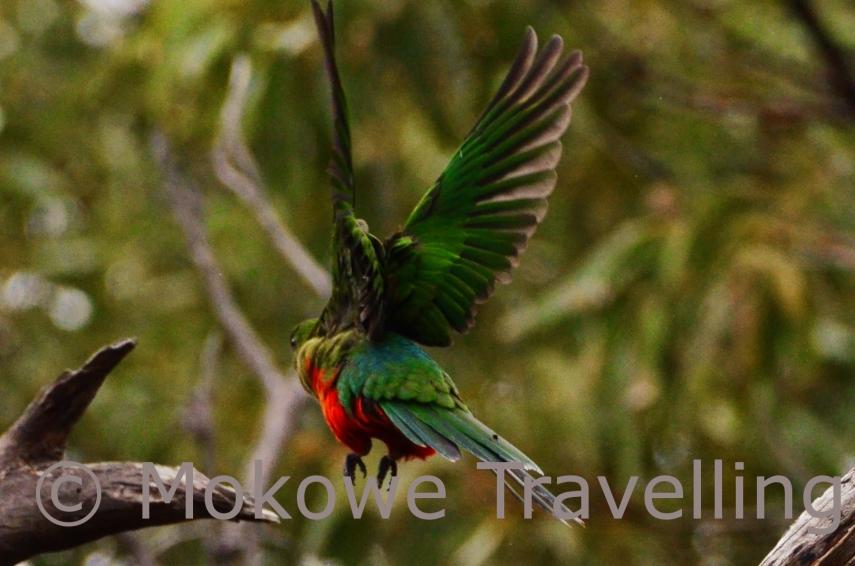 Australischer-Königssittich-weiblich-im-Flug