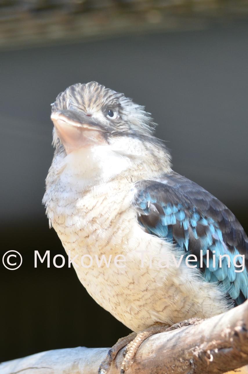 Blauflügelkookaburra
