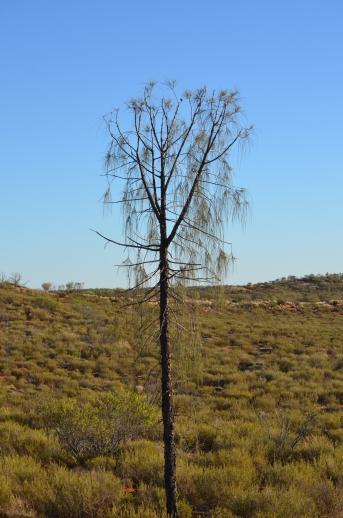 Desert-Oak-Tree-juvenile