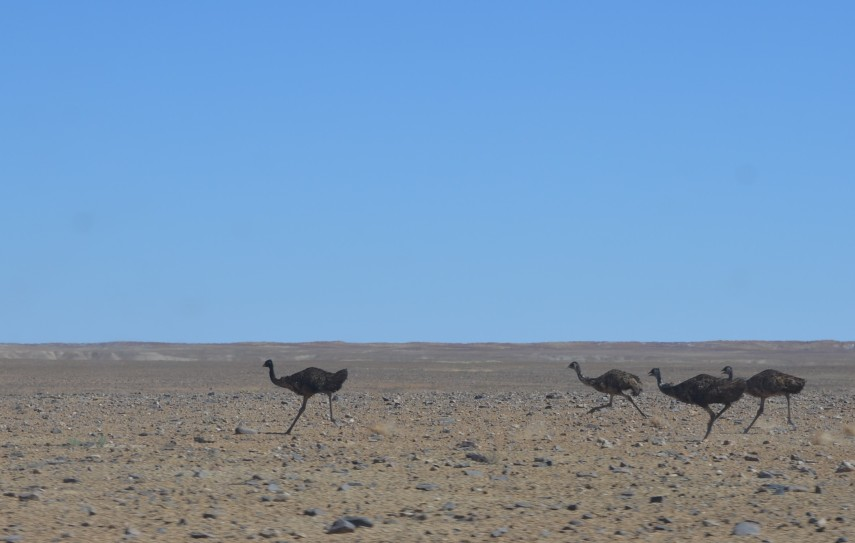 Emu-2-orig.JPG