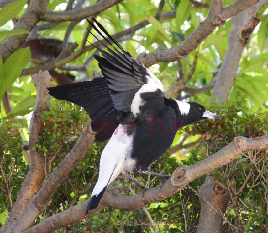 Flötenvogel-streckt-sich