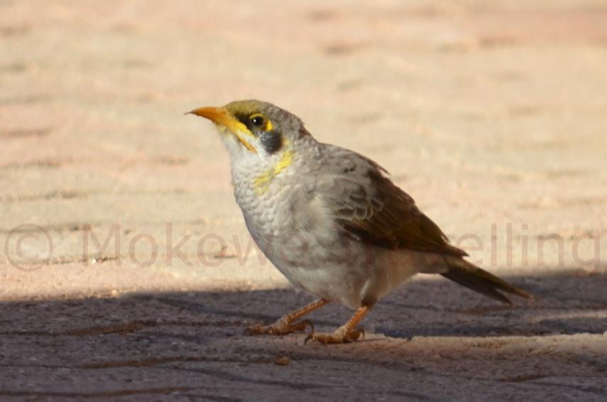 Gelbstirn-Schwatzvogel