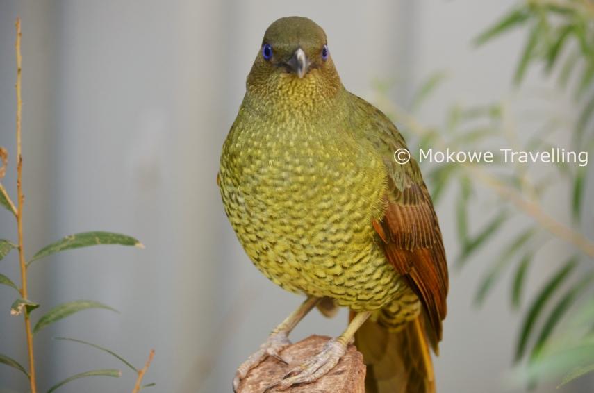Seidenlaubenvogel-weiblich