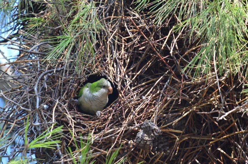 Mönchssittich_Myiopsitta-monachus-im-Nest
