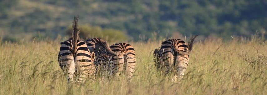 2020-02-Morokolo-Zebra_1702